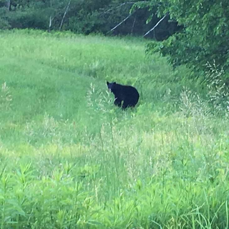Bear on Chestnut Hill