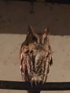 Owl_n